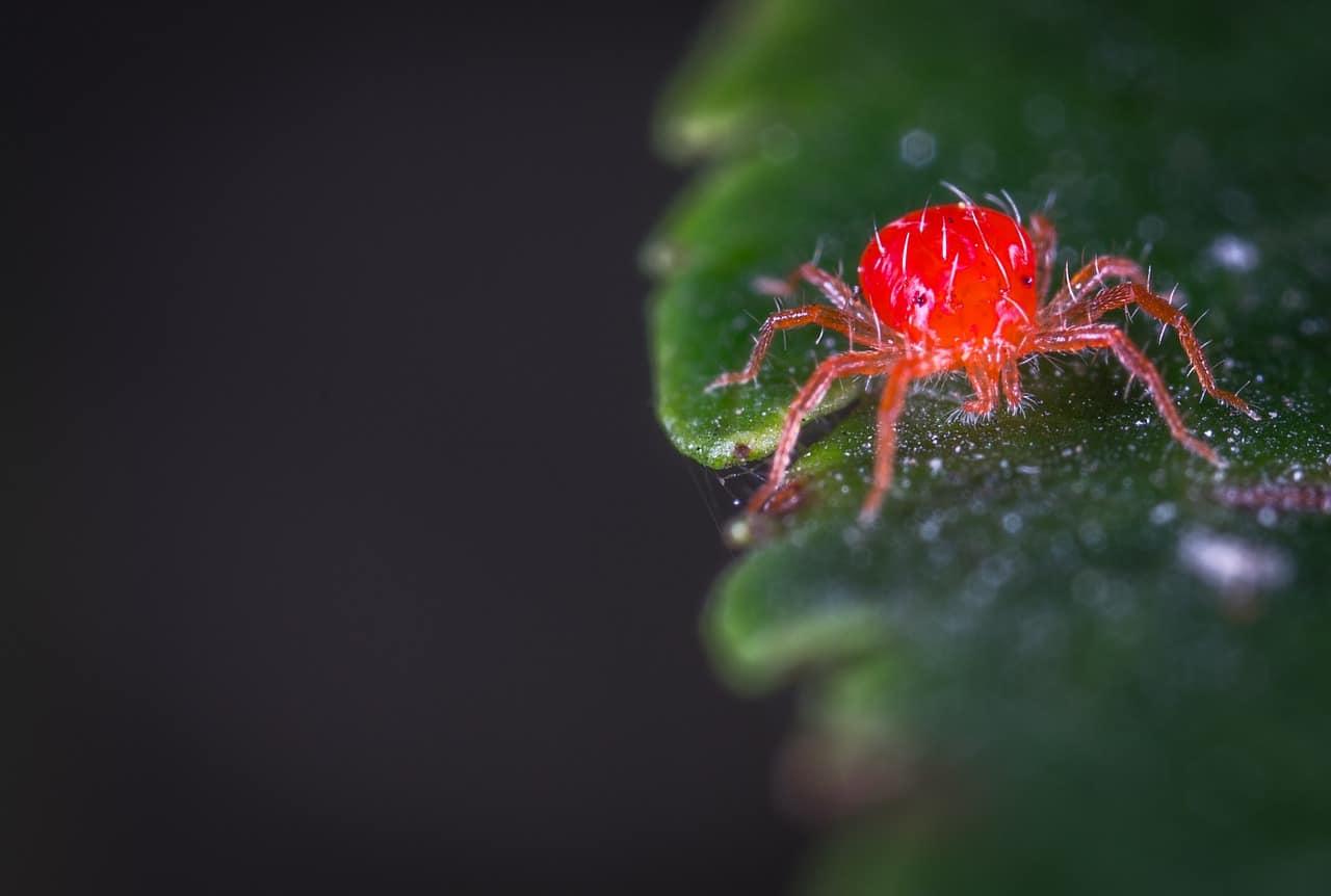 10 Maneras de Controlar los Ácaros Rojos por Métodos Orgánicos