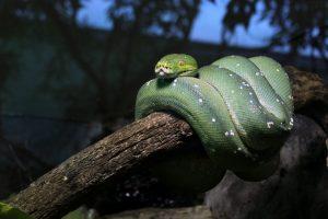 Boa de árbol esmeralda en una rama