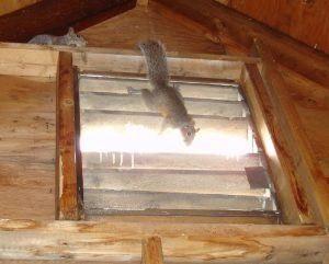Dos ardillas están subiendo en la pared del ático