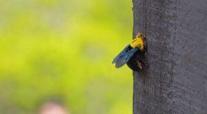 Una Abeja Carpintera en un árbol