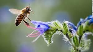 abeja africanizada individual en la naturaleza