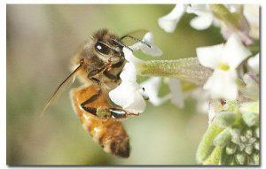abeja africanizada individual en flor blanca