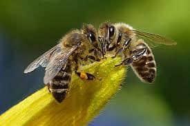 dos abejas africanizadas en una planta