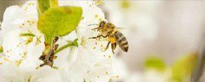 una abeja de miel africanizada en flor blanca
