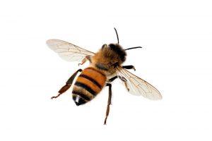 Abejas occidentales de la miel en el fondo blanco. Una abeja occidental de la miel en el fondo blanco.