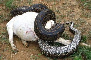 Serpiente pitón comiendo una cabra