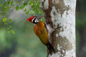 un pájaro carpintero en el árbol