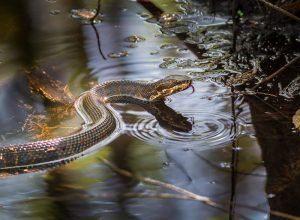 Una serpiente de la boca de algodón está nadando