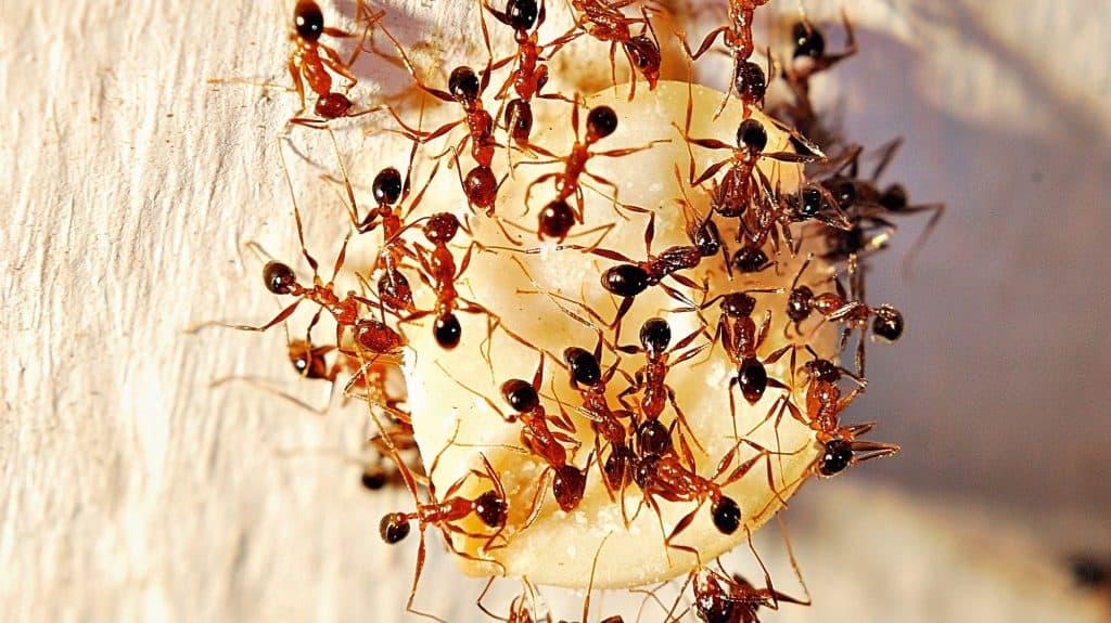 Hormigas Faraón: Datos Básicos y Cómo Deshacerse de Ellos