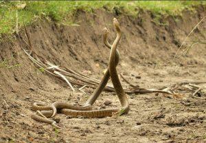 Dos serpientes están haciendo el amor