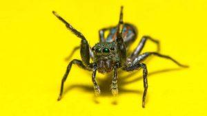 Identificación de Mordeduras de Araña: Síntomas de Diferentes Tipos con Imágenes