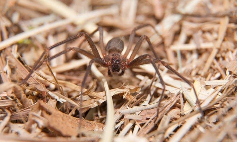 Arañas Solitarias Marrones: 15 Hechos e Información