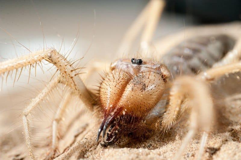Arañas de Camello: Distinguir el Hecho de la Ficción con 5 Mitos Sin Trabar