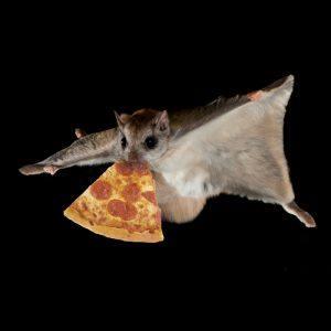 Una ardilla voladora obtiene un trozo de pizza en la boca en la oscuridad.