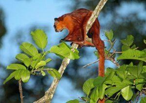 Quirris de vuelo rojo aislado en la rama.