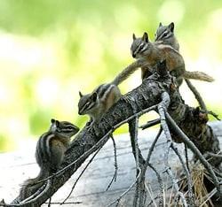 Varias ardillas en la naturaleza