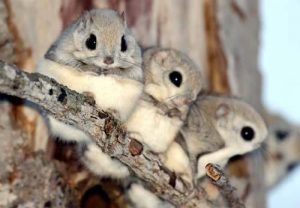 Jóvenes ardillas volando juntos en la rama.