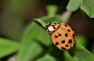 7 Maneras Sencillas de Deshacerse de los Escarabajos Asiáticos
