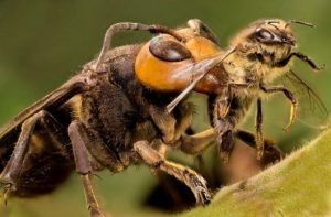 Abejas Contra Avispas Contra Avispones Contra Chaquetas Amarillas: ¿Cuál Es la Diferencia, Exactamente?