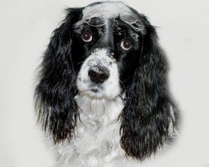 6 Mejores Pulgas Champús para Perros Revisado
