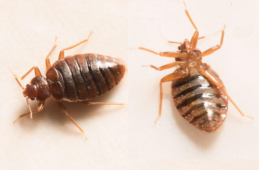 Insecto de cama muerta en el suelo