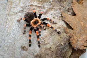 Birdeater tarantula spider Brachypelma smithi in natural forest environment. Arácnido gigante de color naranja brillante.