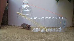 Una rata va dentro de una trampa de cuello de botella