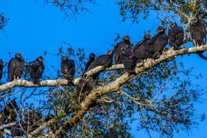 Un grupo de buitres de Turquía descansando en el árbol