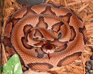 Serpiente cabeza de cobre que muestra la lengua