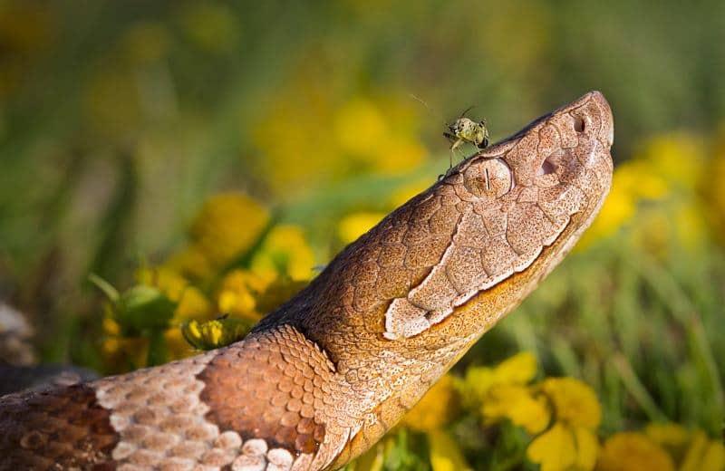 Serpientes de Cabeza de Cobre: Hechos, Mordeduras y Tratamiento