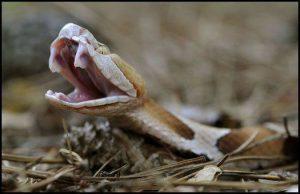 Serpiente cabeza de cobre en una posición peligrosa