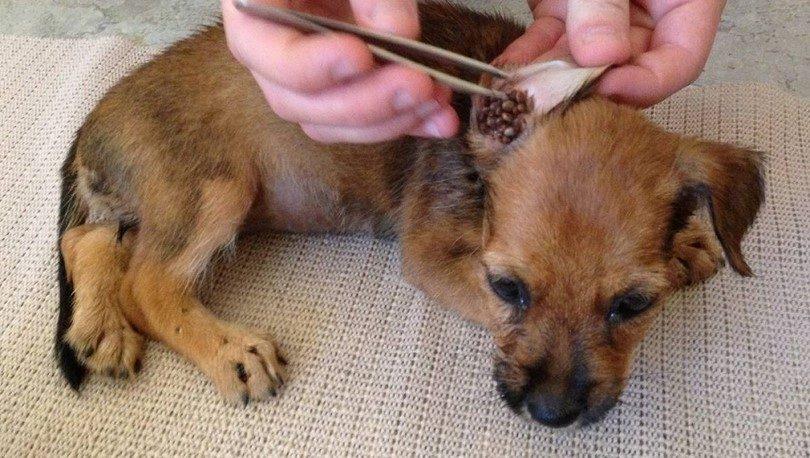 Un médico está recogiendo garrapatas en la oreja del perro