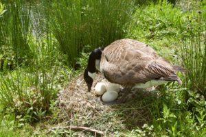 Canadá ganso protege sus huevos en el nido