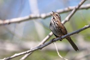 Cantando el gorrión de la canción posado en una rama