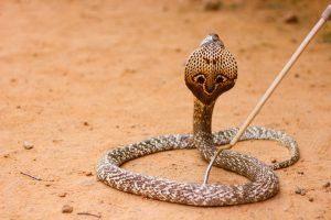 Una serpiente de capa de cobra en el desierto