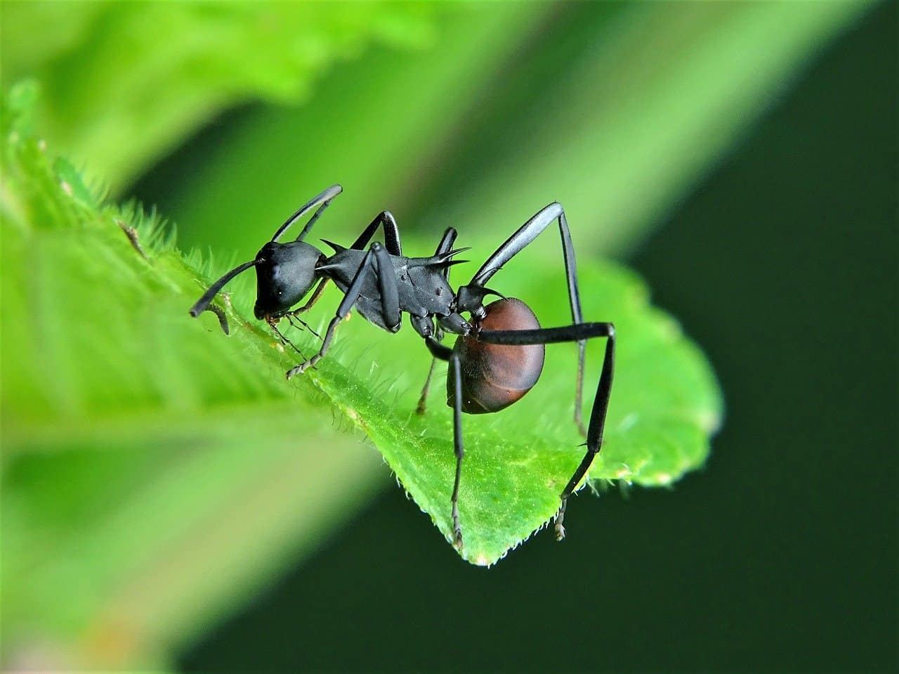 8 Mejores Asesinos de Hormigas Carpintero