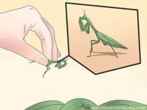 Deshazte de la mantis de oración