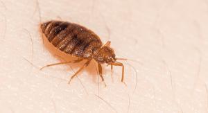 Gran insecto cama en la piel humana