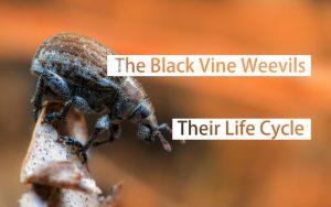 Los Gorgojos de la Vid Negra: su Ciclo de Vida y los Daños Causados por ellos