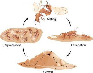 Ciclo de vida de la hormiga cortadora de hojas