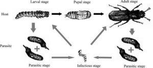 Ciclo de vida del huésped del escarabajo de harina y su parásito gregarino intestinal Escarabajo de harina