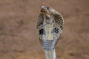 Una cobra india está a punto de atacar