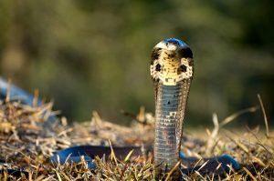 Una serpiente Cobra Monocled en la naturaleza