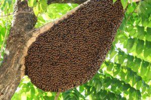 Las abejas y su colmena en un árbol.