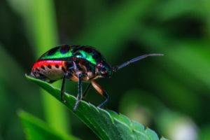 Insecto apestoso de color verde en la hoja
