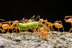 Grupo de hormigas que llevan una oruga