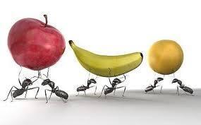 Grupo de hormigas están robando frutas