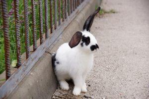 Un conejo blanco y negro se sienta en una cerca.