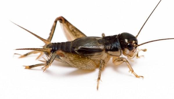 Datos Interesantes Sobre el Insecto de Grillo: 10 Respuestas rápidas, 7 Preguntas y Respuestas