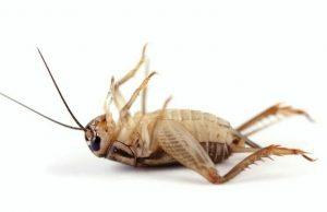 Un insecto de cricket muerto en el fondo blanco